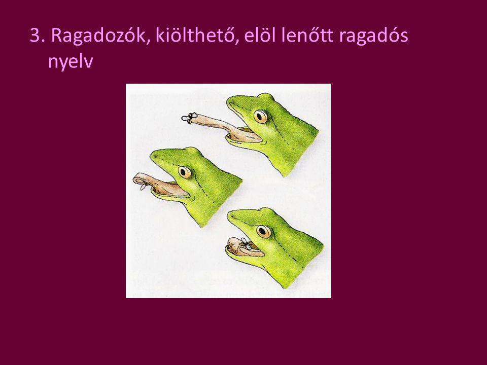 3. Ragadozók, kiölthető, elöl lenőtt ragadós nyelv