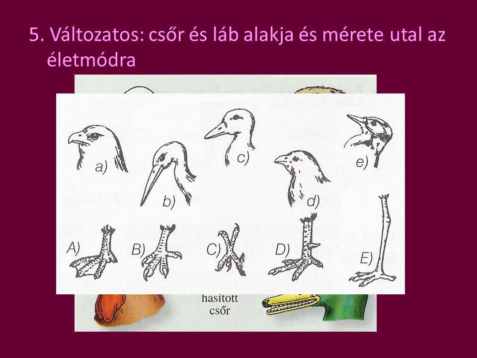 5. Változatos: csőr és láb alakja és mérete utal az életmódra