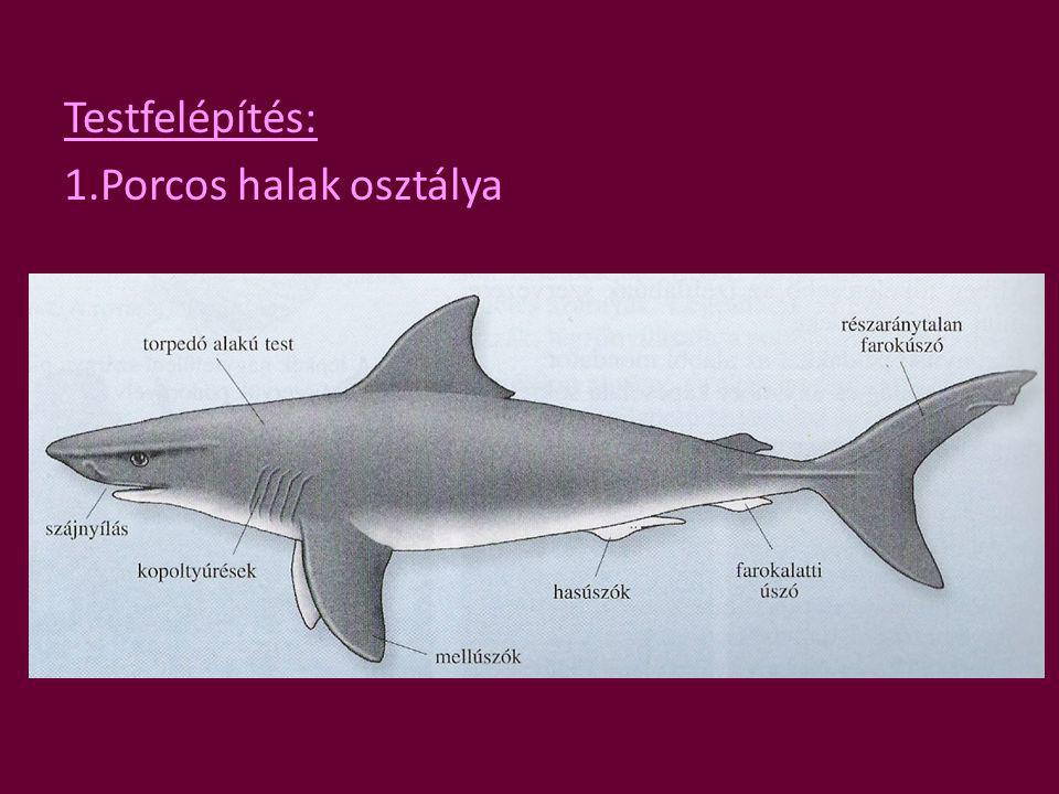 Testfelépítés: 1.Porcos halak osztálya