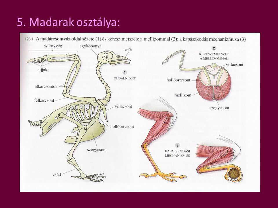 5. Madarak osztálya: