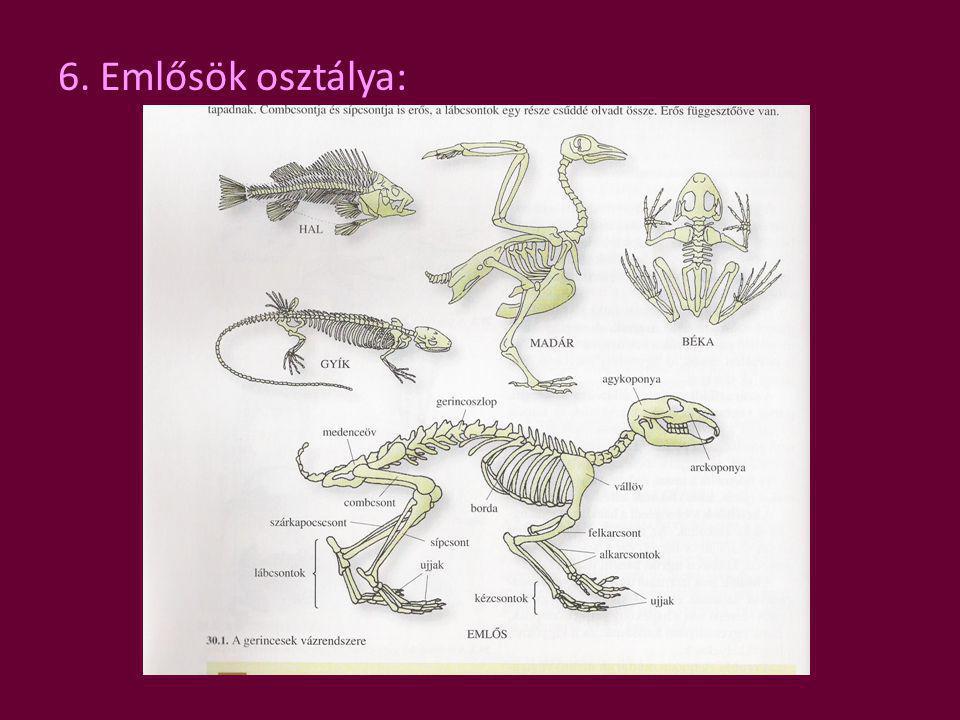 6. Emlősök osztálya: