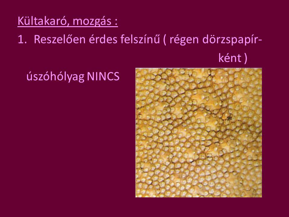 Kültakaró, mozgás : Reszelően érdes felszínű ( régen dörzspapír- ként ) úszóhólyag NINCS