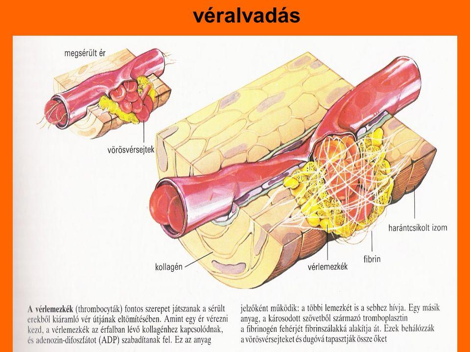 véralvadás