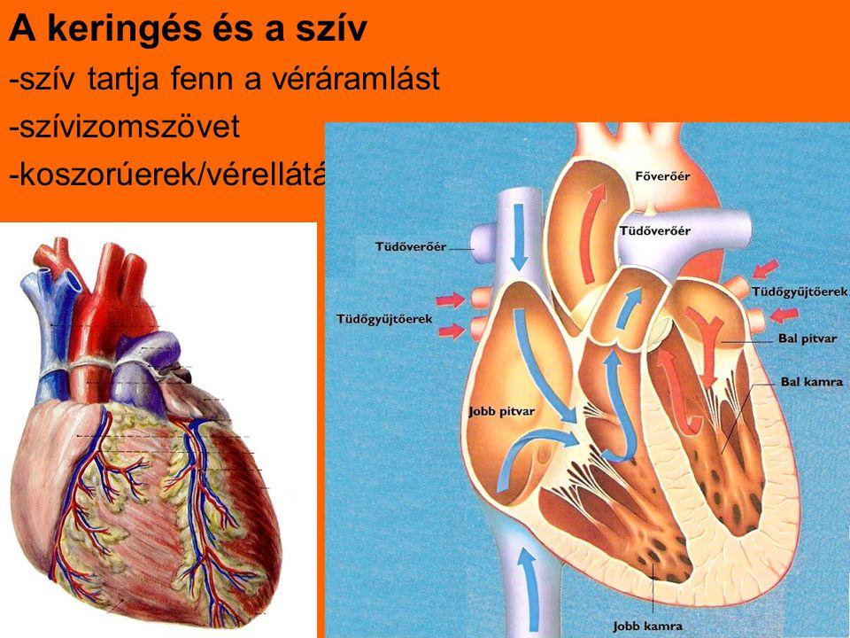 A keringés és a szív -szív tartja fenn a véráramlást -szívizomszövet
