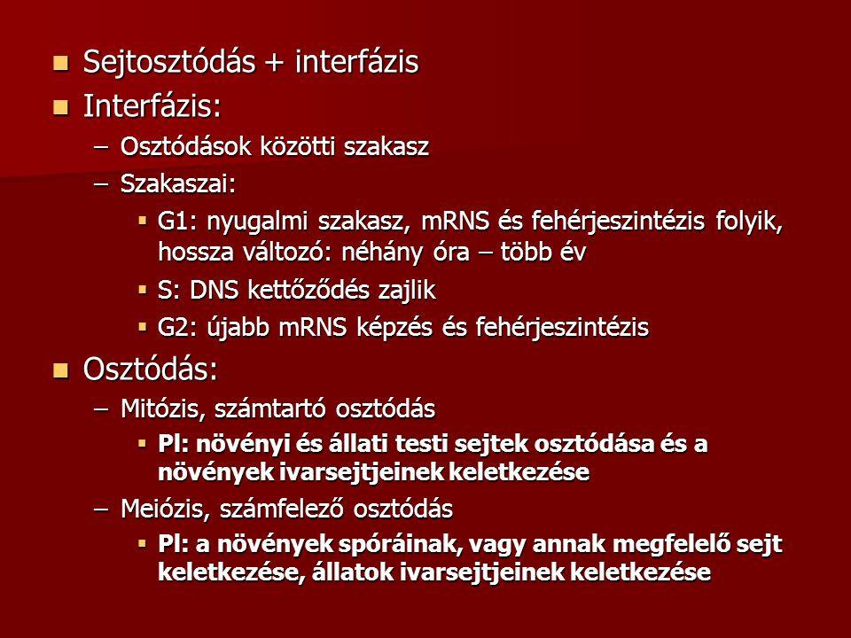 Sejtosztódás + interfázis Interfázis: