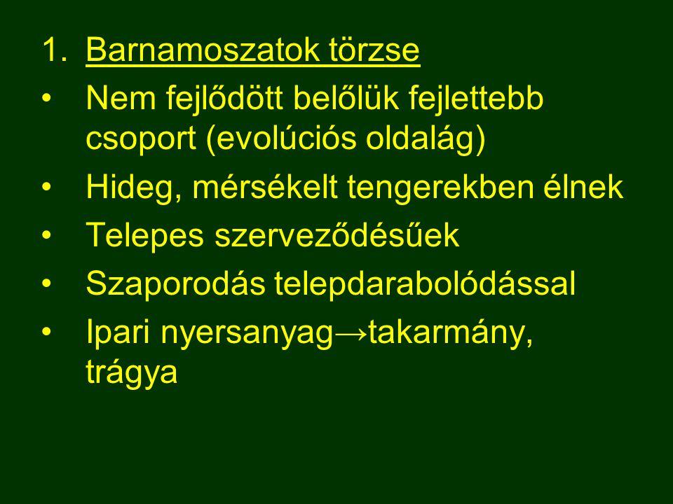 Barnamoszatok törzse Nem fejlődött belőlük fejlettebb csoport (evolúciós oldalág) Hideg, mérsékelt tengerekben élnek.