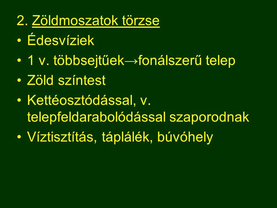 2. Zöldmoszatok törzse Édesvíziek. 1 v. többsejtűek→fonálszerű telep. Zöld színtest. Kettéosztódással, v. telepfeldarabolódással szaporodnak.
