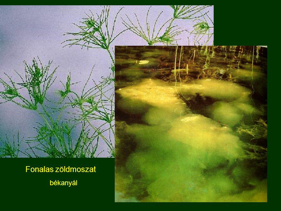 Fonalas zöldmoszat békanyál
