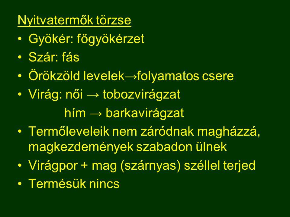 Nyitvatermők törzse Gyökér: főgyökérzet. Szár: fás. Örökzöld levelek→folyamatos csere. Virág: női → tobozvirágzat.