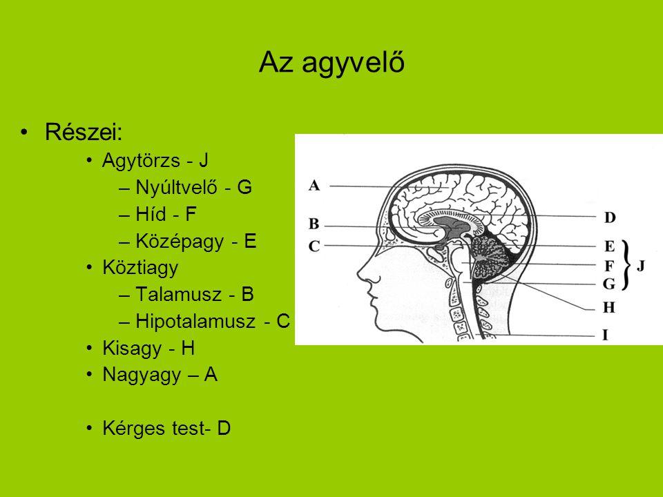 Az agyvelő Részei: Agytörzs - J Nyúltvelő - G Híd - F Középagy - E
