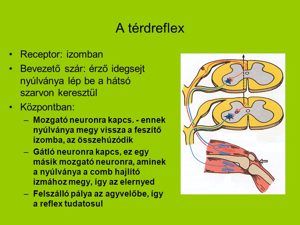A térdreflex Receptor: izomban