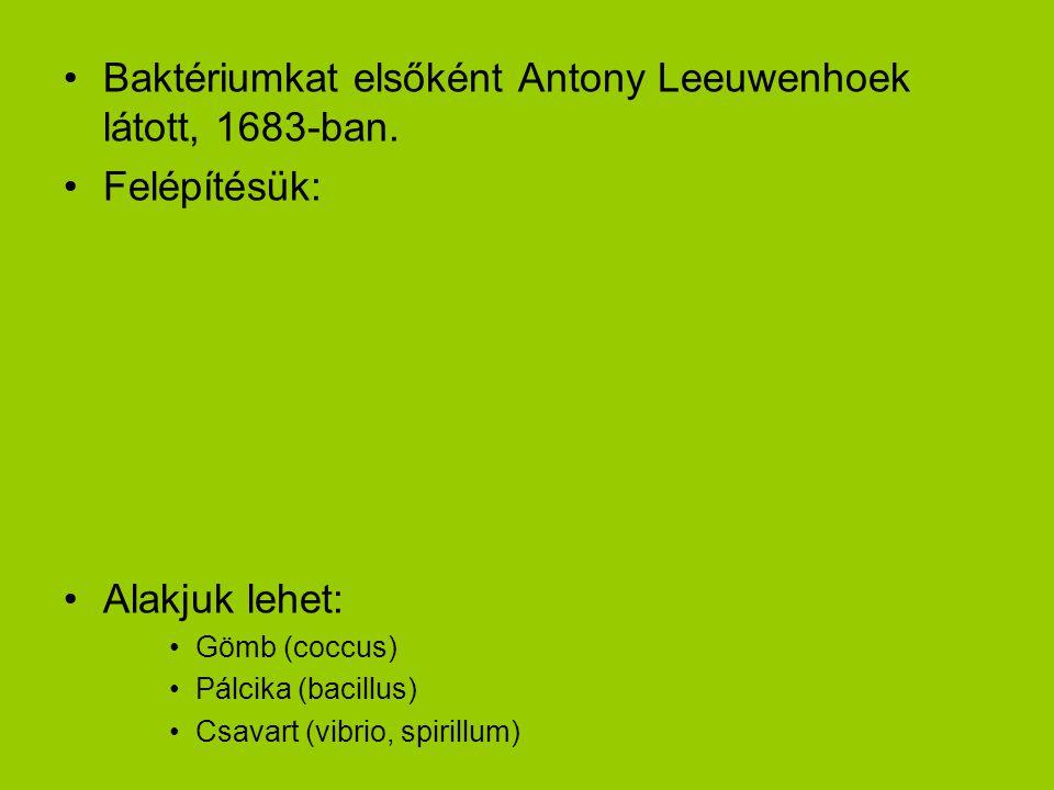 Baktériumkat elsőként Antony Leeuwenhoek látott, 1683-ban.