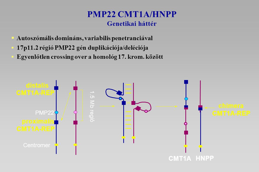 PMP22 CMT1A/HNPP Autoszómális domináns, variabilis penetranciával