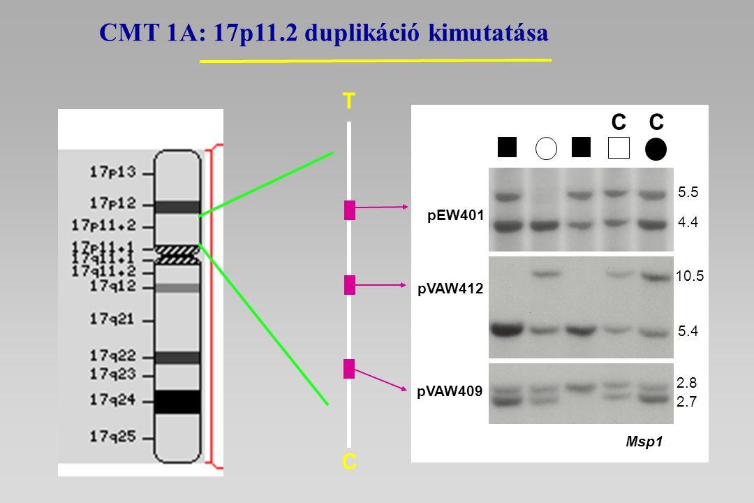 CMT 1A: 17p11.2 duplikáció kimutatása