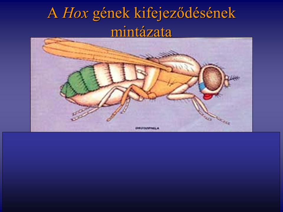 A Hox gének kifejeződésének mintázata