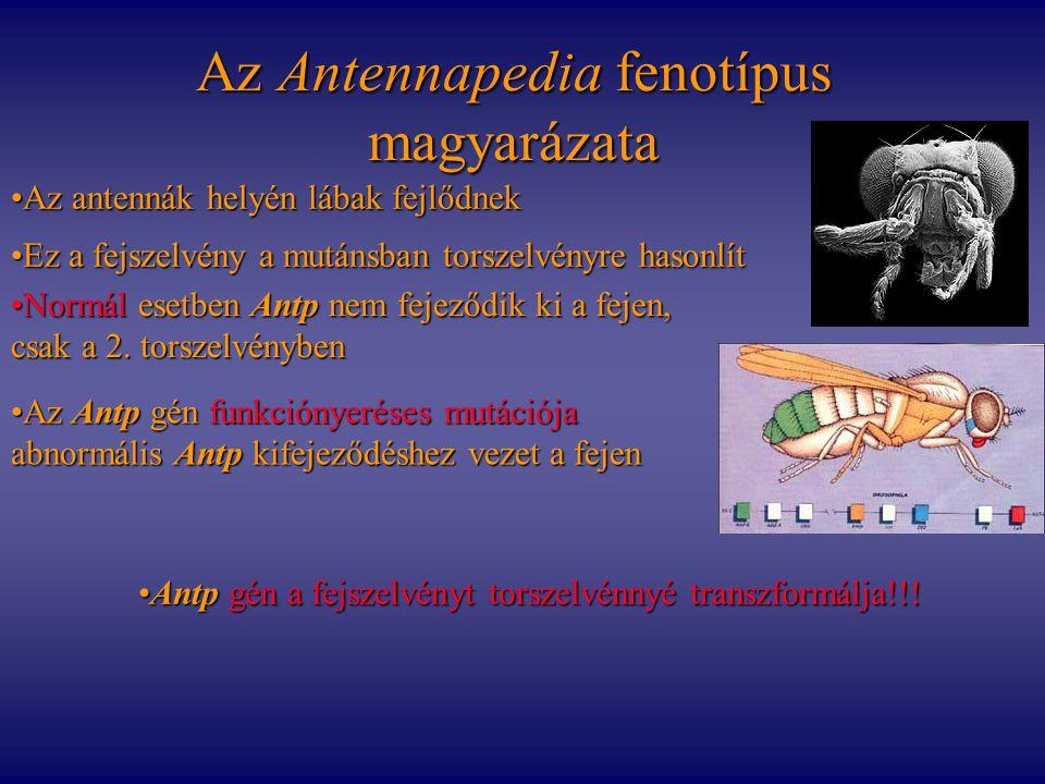 Az Antennapedia fenotípus magyarázata