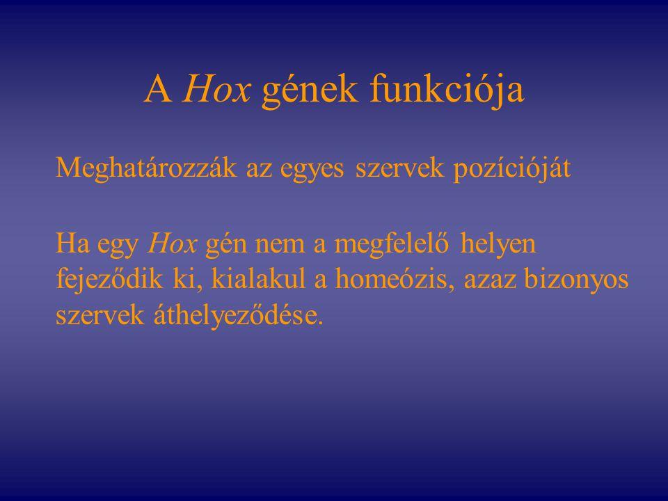 A Hox gének funkciója Meghatározzák az egyes szervek pozícióját