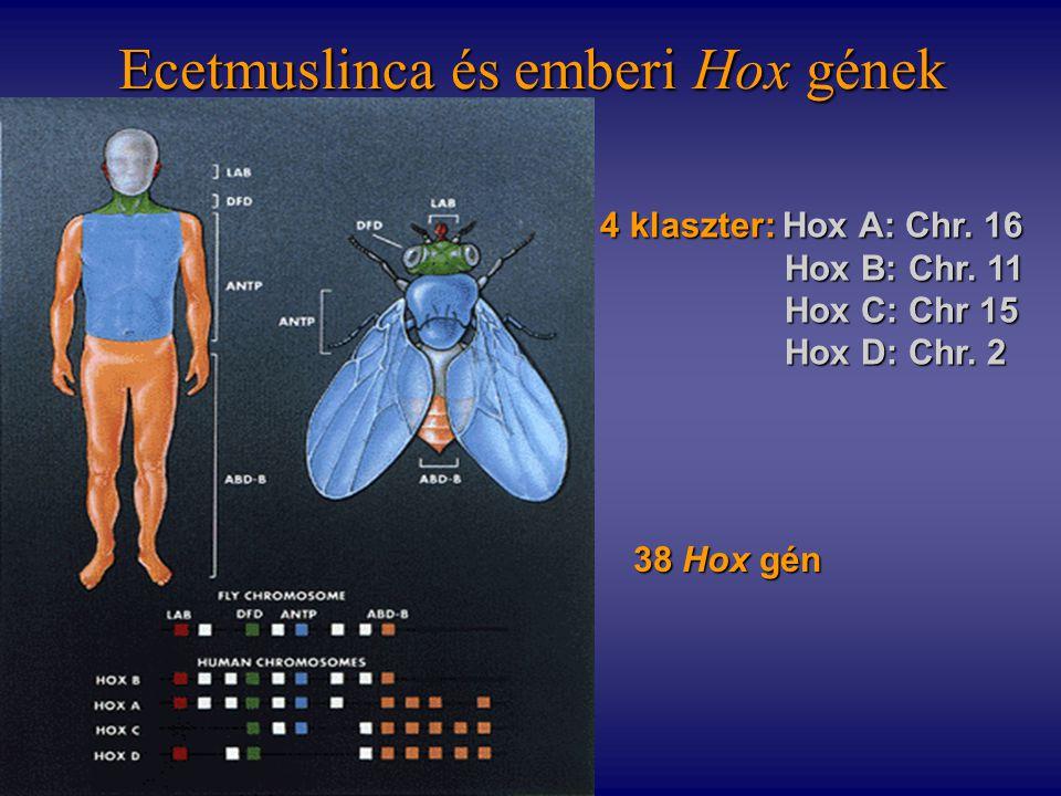 Ecetmuslinca és emberi Hox gének