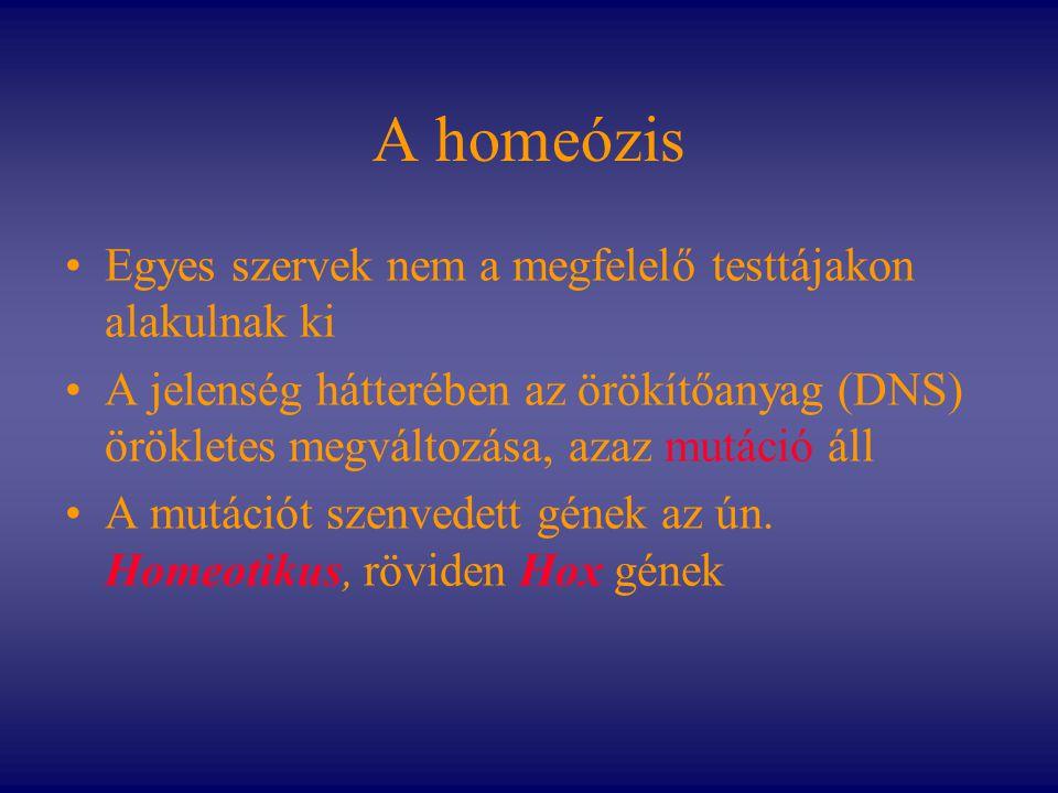 A homeózis Egyes szervek nem a megfelelő testtájakon alakulnak ki