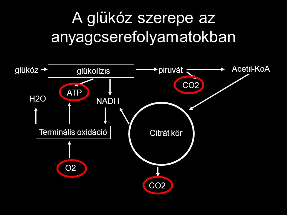 A glükóz szerepe az anyagcserefolyamatokban