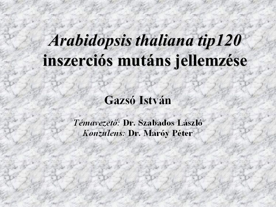 Arabidopsis thaliana tip120 inszerciós mutáns jellemzése