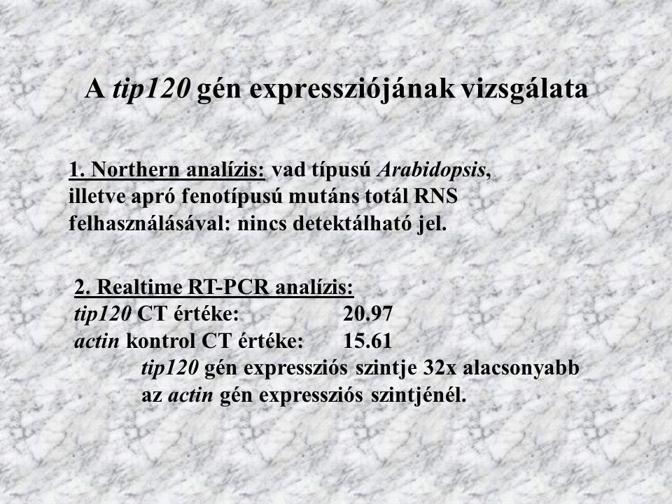 A tip120 gén expressziójának vizsgálata