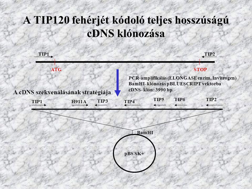 A TIP120 fehérjét kódoló teljes hosszúságú cDNS klónozása