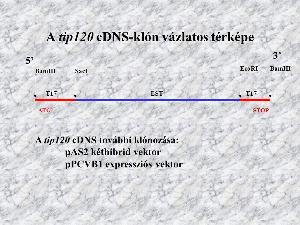 A tip120 cDNS-klón vázlatos térképe