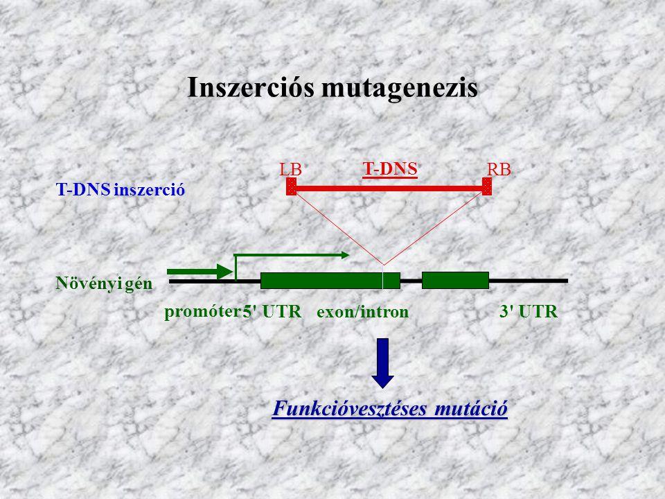 Inszerciós mutagenezis