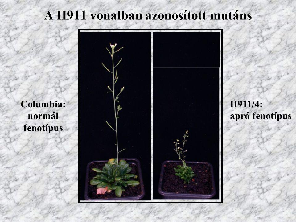 A H911 vonalban azonosított mutáns