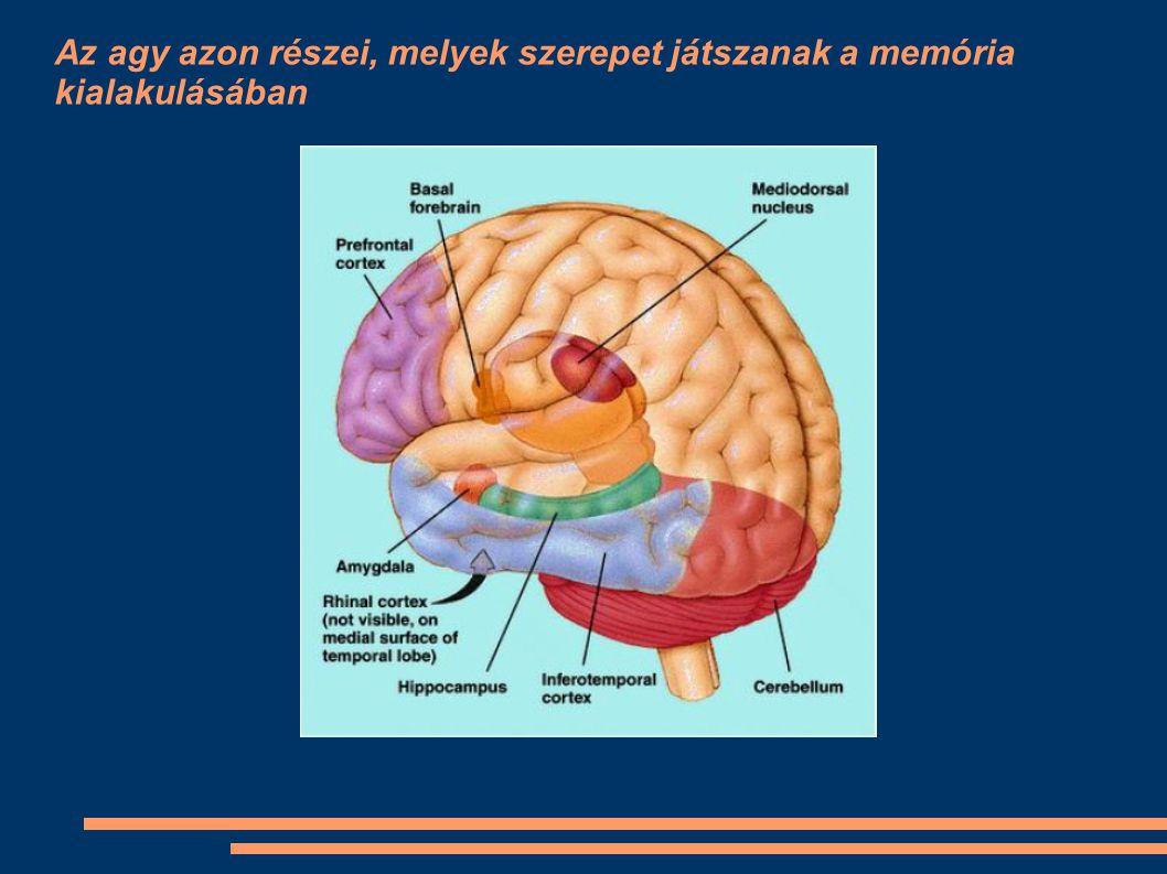 Az agy azon részei, melyek szerepet játszanak a memória kialakulásában