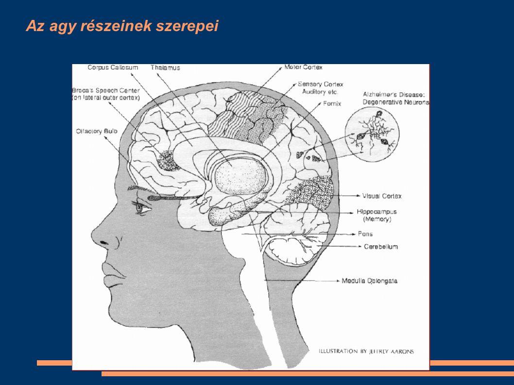 Az agy részeinek szerepei