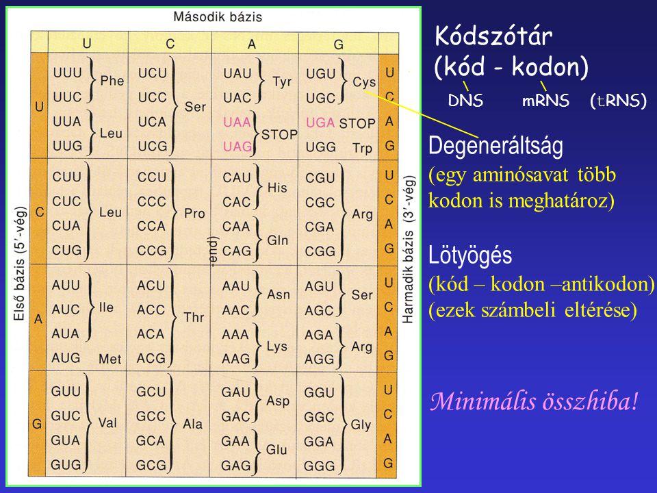 Minimális összhiba! Kódszótár (kód - kodon) Degeneráltság Lötyögés