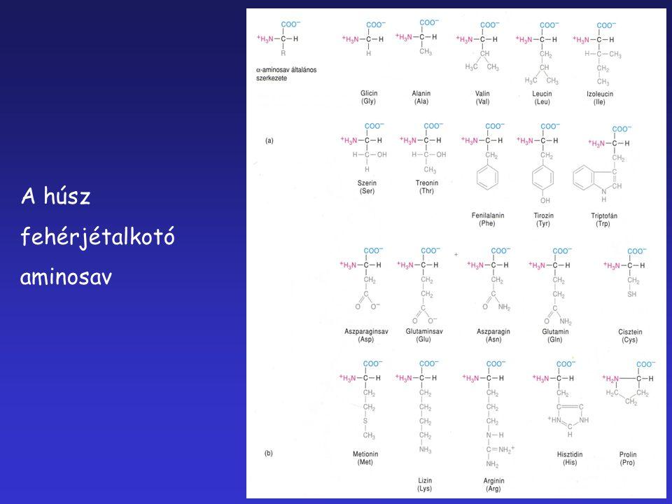 A húsz fehérjétalkotó aminosav