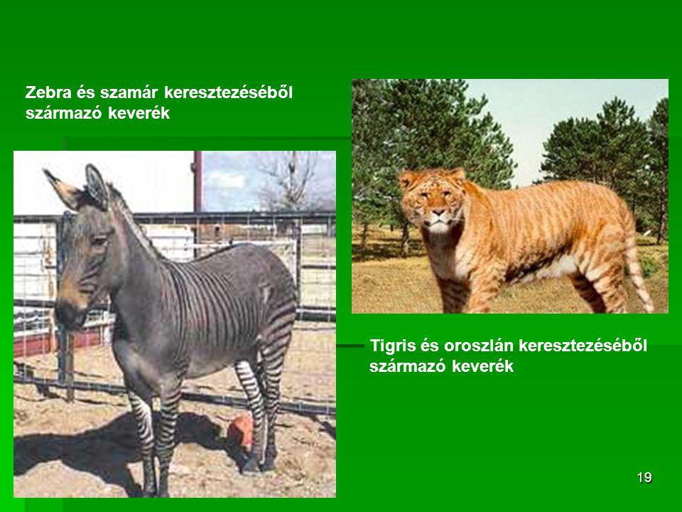 Zebra és szamár keresztezéséből származó keverék
