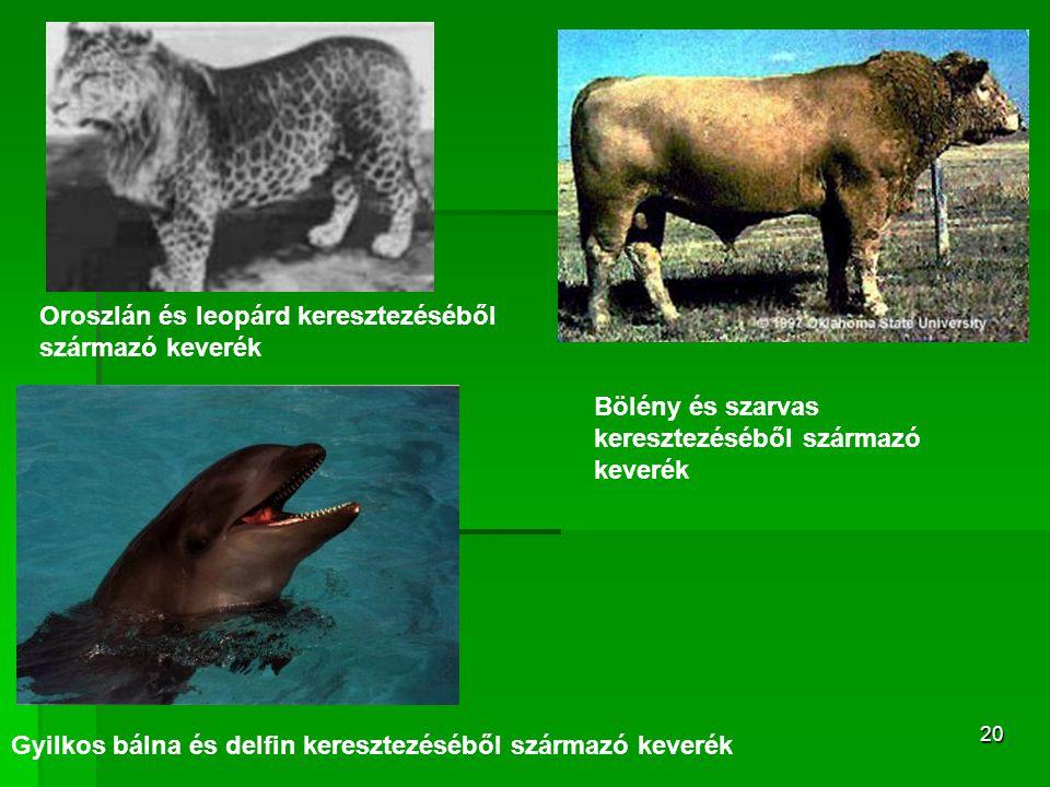 Oroszlán és leopárd keresztezéséből származó keverék
