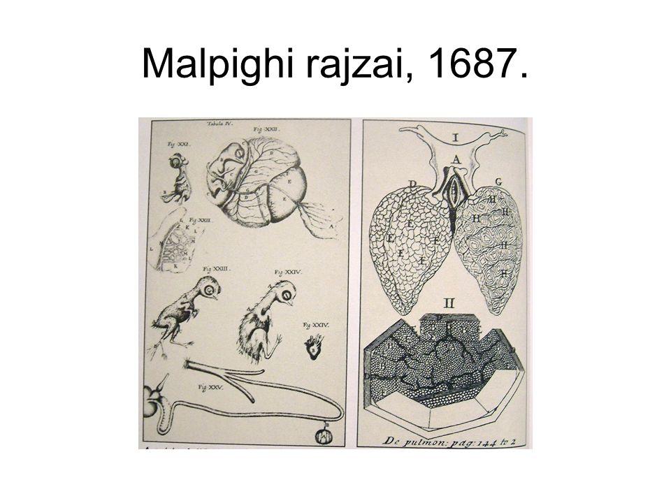Malpighi rajzai, 1687.