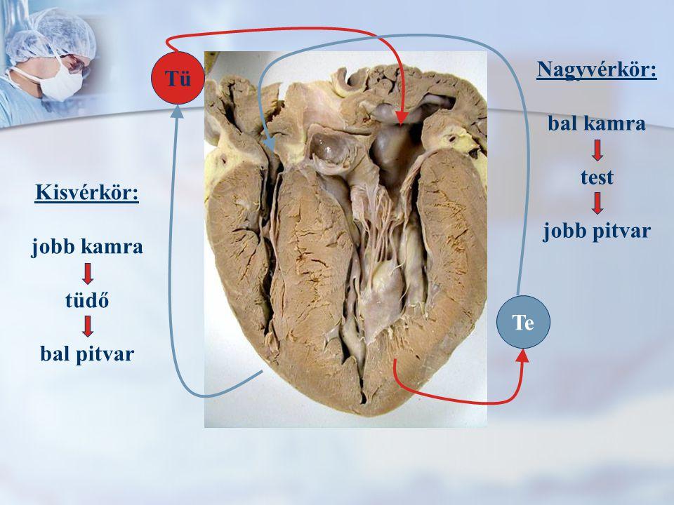 Tü Te Nagyvérkör: bal kamra test jobb pitvar Kisvérkör: jobb kamra tüdő bal pitvar