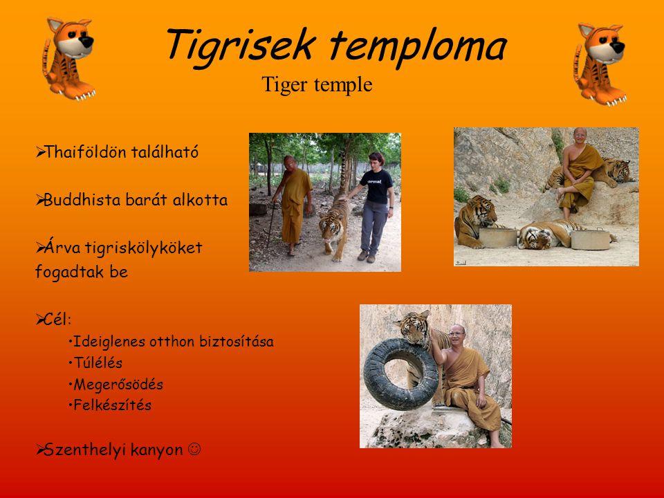 Tigrisek temploma Tiger temple Thaiföldön található