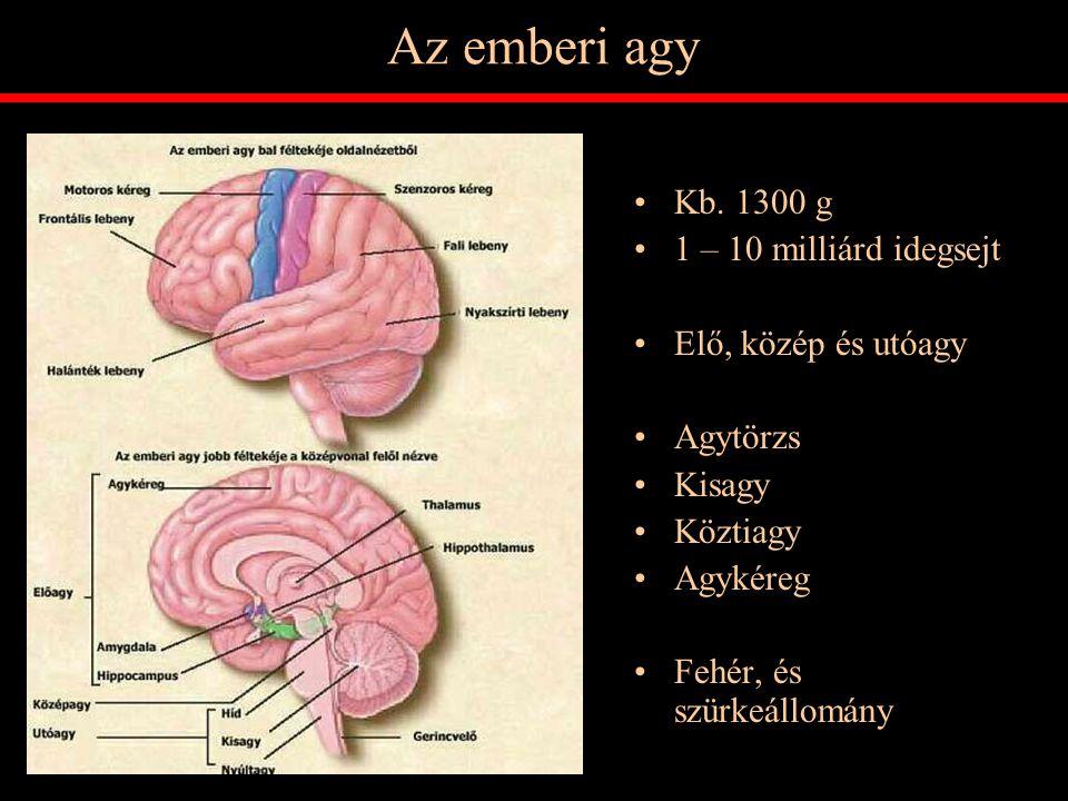 Az emberi agy Kb. 1300 g 1 – 10 milliárd idegsejt Elő, közép és utóagy