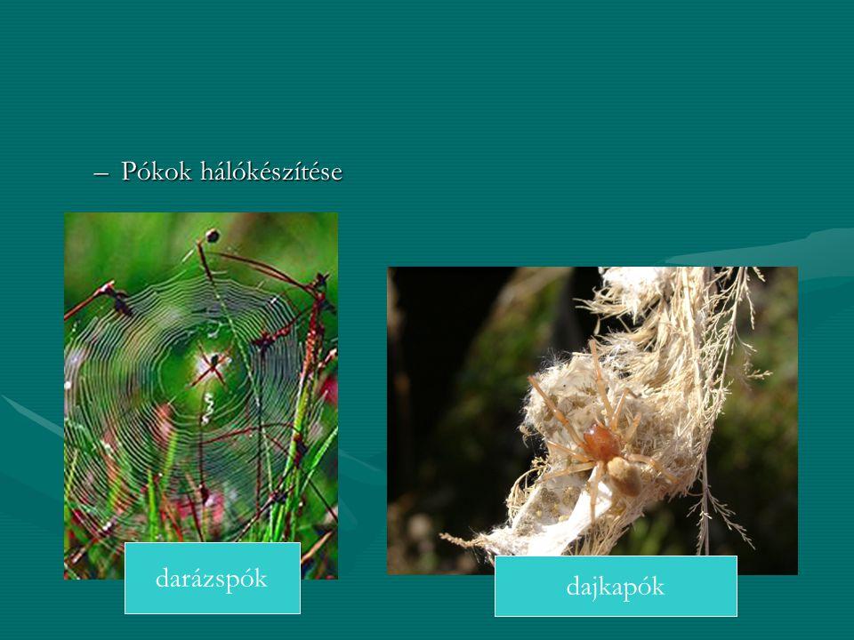 Pókok hálókészítése darázspók dajkapók