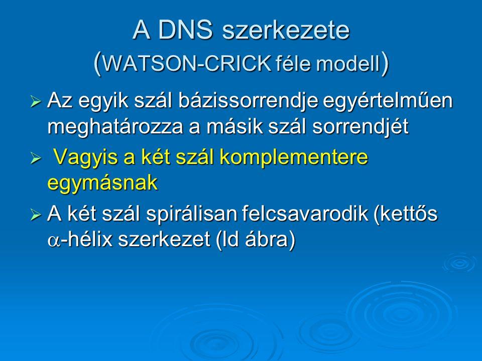 A DNS szerkezete (WATSON-CRICK féle modell)