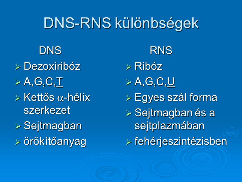 DNS-RNS különbségek DNS Dezoxiribóz A,G,C,T Kettős a-hélix szerkezet
