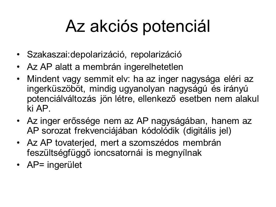 Az akciós potenciál Szakaszai:depolarizáció, repolarizáció
