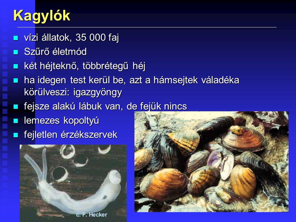 Kagylók vízi állatok, 35 000 faj Szűrő életmód
