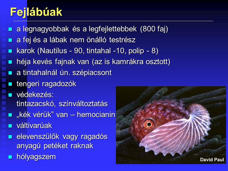 Fejlábúak a legnagyobbak és a legfejlettebbek (800 faj)