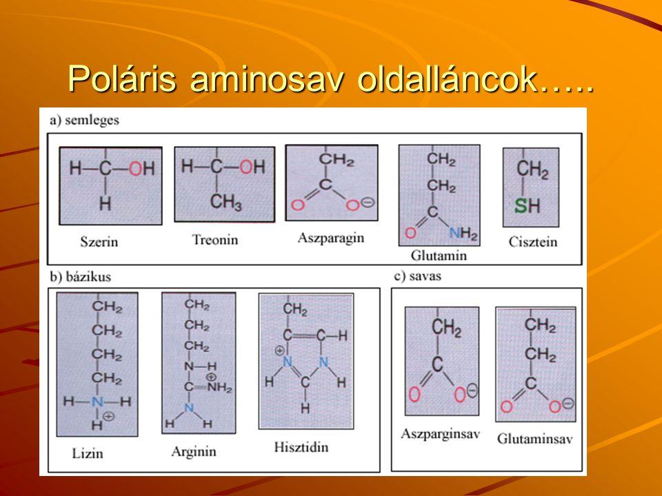 Poláris aminosav oldalláncok…..