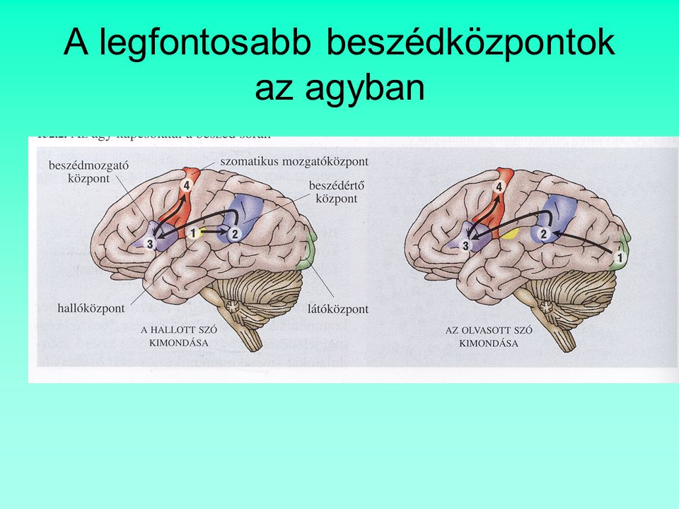 A legfontosabb beszédközpontok az agyban