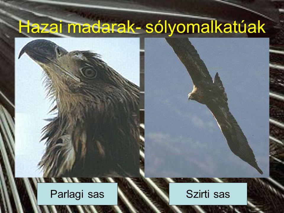 Hazai madarak- sólyomalkatúak