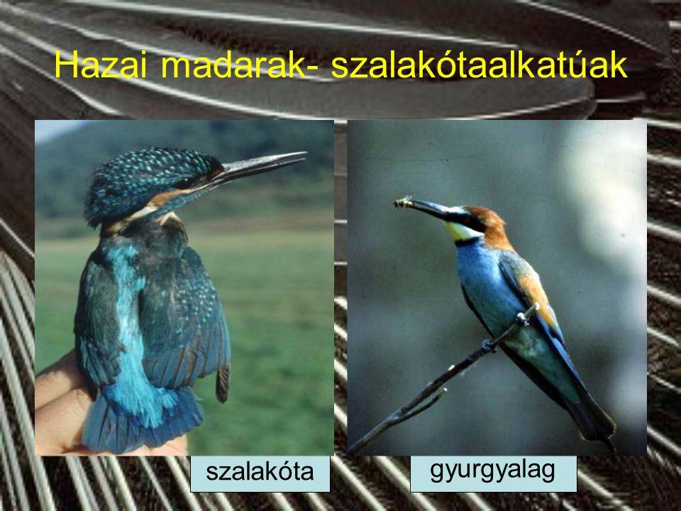 Hazai madarak- szalakótaalkatúak